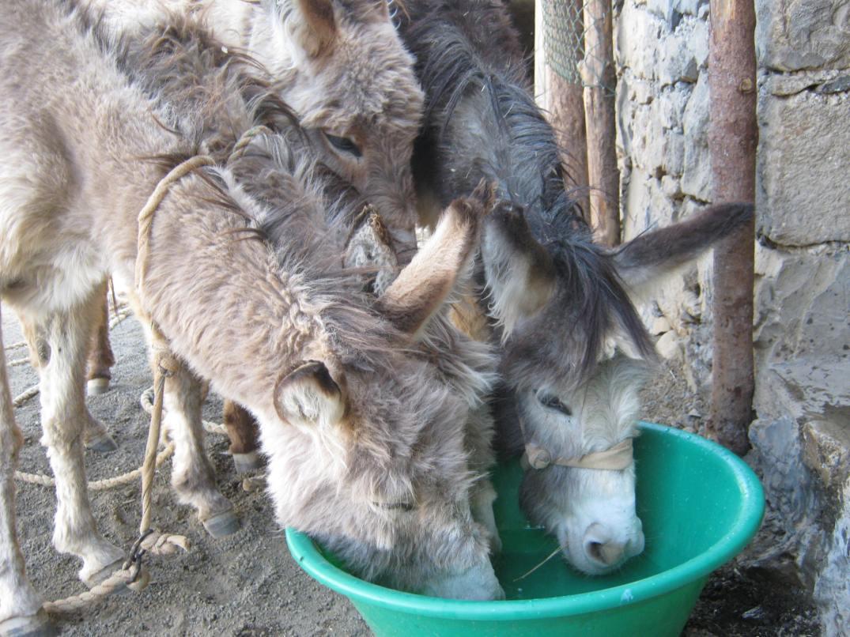 Deux ânes se desaltérant
